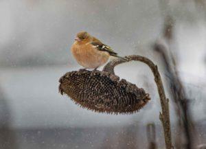 Buchfink im Winter auf einer Sonnenblume