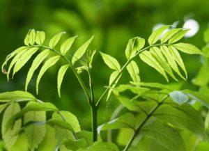 Eschenzweige mit Blättern