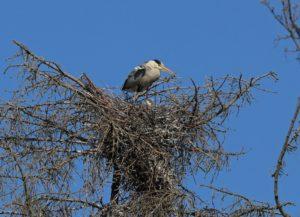 Graureiher auf dem Nest mit Jungvogel