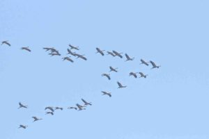 Kraniche in Flugformation