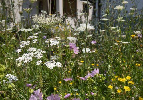 Vorgarten-Blumenwiese