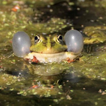 Wasserfrosch-Schallblasen