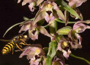 breitblättrige Stendelwurz mit Honigbiene