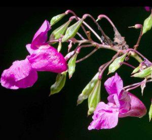 indisches Springkraut Blüte und Blätter