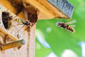 Hornissen fliegen zu ihrem Nest in einem Vogelnistkasten.